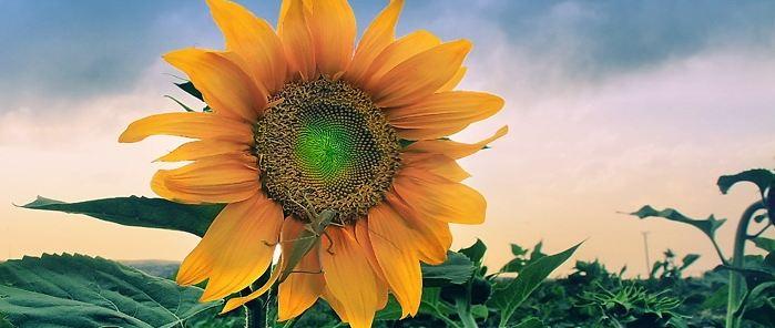 sunflower54