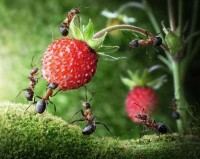 Team of Ants Gathering Wild Strawberry - Andrey Pavlov